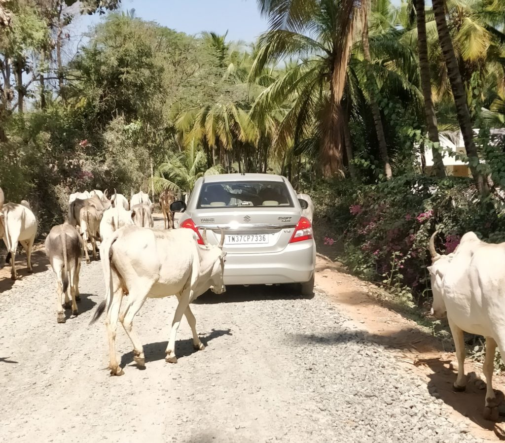 Driving through the village road filled with cows